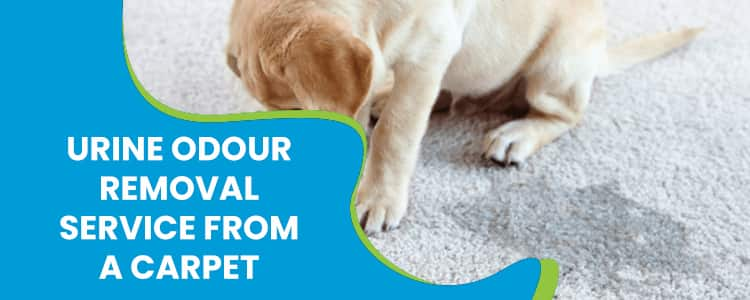 Urine Odour Removal Service From a Carpet